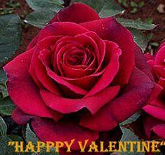 heatlover roses Australia: Happy Valentine - All For Garden Beautiful Roses, Land Scaping, Australia, Landscape, Happy, Flowers, Plants, Gardens, Roses
