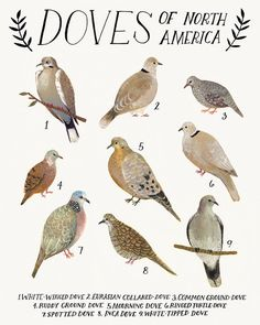 Doves of North America print by Kelzuki