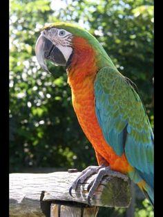 Mango my Harlequin Macaw
