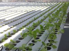 NEWS: Rooftop Farming Grows at New Bronx Housing Project Watch the NBC video today. Hydroponic Vegetables, Hydroponic Farming, Hydroponic Growing, Growing Plants, Hydroponics, Water Irrigation, Irrigation Systems, Urban Agriculture, Urban Farming