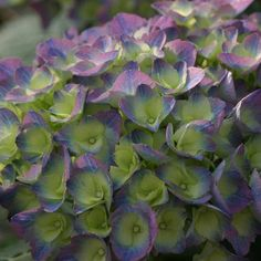 Cityline™ Rio hydrangea is as exotic and exciting as its namesake! http://emfl.us/FREd