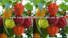 Manfaat Mewah Buah Dewa Ndaru Vegetables, Amazon Fr, Ribbon Embroidery, Silk, Embroidered Flowers, Ribbons, Bud, Vegetable Recipes, Veggies