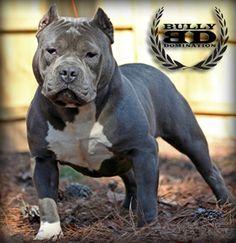 Razor's Edge breed of pit bull. Georgeous! Looks just like Brutus! :)