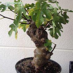 PREBONSAI HIGUERA - foto 2 Bonsai, Plants, Pictures, String Garden