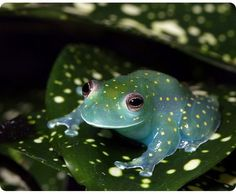 South American Glass frog