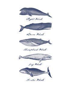 Five Vintage Whales Print11x14 OR 16x20 Print by seaandsaildesign