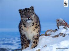 Russian Snow Leopard