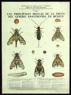 Principales moscas de la fruta del género Anastrepha, en México : Las principales moscas de la fruta en México... : Disposiciones para el combate de las moscas de la fruta, Las :: Cartells (Biblioteca de Catalunya)