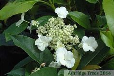 Hydrangea 'seemannii' is a lovely evergreen climbing hydrangea from Mexico, introduced to the UK in the 1980s'. It has very attractive lance-shaped serrated leaves and beautiful lacecap white flowers from June until September.