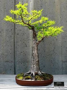 to Grow and Style Bonsai A strong trunk on a Formal Upright style Bonsai.A strong trunk on a Formal Upright style Bonsai. Plantas Bonsai, Bonsai Garden, Garden Plants, Air Plants, Garden Beds, Cactus Plants, Ikebana, Plante Crassula, Bonsai Acer