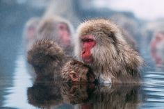 """Snow Monkeys - A visit to the mountainous hot springs of Jigokudani, home to 200+ Japanese Macaque's.  Shibu-Yudanaka, Japan.  <a href=""""http://www.peterstewartphotography.com"""">www.peterstewartphotography.com </a> <b> Follow my latest updates on: </b> <a href=""""http://facebook.com/PeterStewartPhotography""""> Facebook  