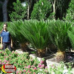 Sago Palm Arizona Pools Pool Plants Tropical Landscaping Online Nursery
