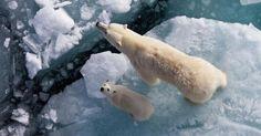 Las imágenes son increíbles.Casi puedes sentir cómo sería nadar junto a los osos polares en las frías aguas del océano Ártico.Pero hay algo más en estas imágenes, esta familia de osos como muchos otrosestán nadando en busca de hielo.Ypor estos días esta búsqueda no es tan fácil como parece…
