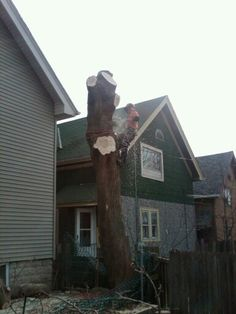 Big Boxelder removal in Milwaukee