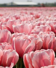 "Tulip Pink Impression a highly regarded pink, 20-22"", a Michael King favorite"