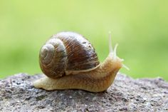 Here are some of the interesting pictures of Snails and slugs that will give you some great idea about this creature. In addition, you can know about some beautiful facts about them. Snail Life Cycle, Pet Snails, Snails In Garden, What Cat, Cat Coloring Page, How To Stop Procrastinating, Animal Totems, Cat Facts, Aloe Vera