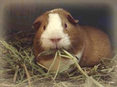 Good site for guinea pig care...just in case