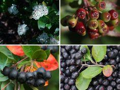 Aronie, černá jeřabina v receptech: Kompoty, džem, perník i domácí likér z aronie     MAKOVÁ PANENKA Blueberry, Fruit, Food, Berry, Essen, Meals, Yemek, Blueberries, Eten