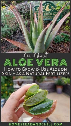 Discover the healing properties of aloe vera, how to grow it, along with ways to use it in the garden to feed and support the health of other plants. Learn how to make a fresh aloe vera soil… Vegetable Garden, Garden Plants, Indoor Plants, Succulent Plants, House Plants, Hanging Flowering Plants, Herb Plants, Potted Garden, Succulent Wall