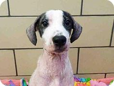 Fort Wayne, IN - Border Collie Mix. Meet BUTTONS, a dog for adoption. http://www.adoptapet.com/pet/16823487-fort-wayne-indiana-border-collie-mix