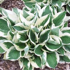 The Best Perennials for Shade. A favorite in the shade garden for its attractive foliage, many hostas also produce pretty spikes of white or lavender blooms. 'Patriot' hosta, pictured, has blue-green leaves dramatically edged in pure white. by carmen Planting In Clay, Clay Soil, Shade Plants, Shade Garden, Clay Soil Plants, Perennials, Plants, Urban Garden, Cool Plants