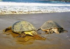 Turtle, Animals, Turtles, Animales, Animaux, Tortoise, Animal, Animais
