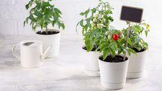 Jestli vám chybí zahradničení, vúnoru už zase můžete ponořit ruce do země. Je totiž čas předpěstovat si papriky arajčata. Poradíme vám, jak to udělat, aby netáhly za světlem, byly zdravé asilné.