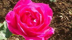 Rose Garden Ooty