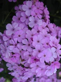 hs, Blüte VII-VIII (mittel) Höhe 130 cm Phlox paniculata 'Hesperis' - Sommer-Phlox
