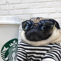 Learn even more relevant information on Pugs. Have a look at our site. Learn even more relevant information on Pugs. Have a look at our site. Cute Pug Puppies, Cute Dogs, Dogs And Puppies, Bulldog Puppies, Terrier Puppies, Boston Terrier, Cute Baby Pugs, Cute Funny Animals, Cute Baby Animals