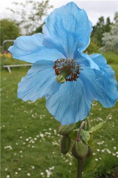 The meconopsis, featured at this years Chelsea Gardens Show Is more commonly known as the blue poppy because of its beautiful, vibrant hue Wonderful Flowers, All Flowers, Spring Flowers, Poppy Flowers, Chelsea Garden, Garden Inspiration, Color Inspiration, Blue Poppy, Kind Of Blue