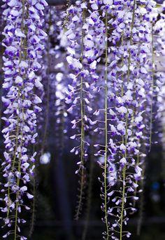 https://flic.kr/p/eiQtLX   wisteria