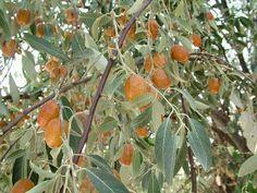 Φρούτα και καρποί του δάσους, Τζιτζιφιές ,ποικιλίες, Κινέζικη βοτανολογία, συνταγές με τζίτζιφα, Indoor Bamboo Plant, Bamboo Plants, Holistic Medicine, Holidays And Events, Botany, Body Care, Natural Remedies, Herbalism, Flora