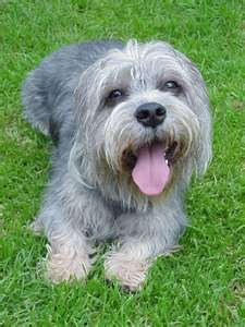 Desktop wallpapers Happy Dandie Dinmont Terrier dog - photos in high quality and resolution Dandie Dinmont Terrier, Terrier Breeds, Terrier Dogs, Terrier Mix, Terriers, Doberman Pinscher, Small Dog Breeds, Small Dogs, Skye Terrier