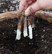 Propagate Your Own Plants With Root Cuttings