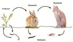 Näringskedja och näringsväv – Ugglans Biologi Science For Kids, Science And Nature, Swedish Language, Nature Study, Biology, Animals, School, Grammar, Kid Science