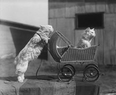Original caption: 3/16/25-Culver City, California: Plain alley cats get a chance to act at Barnes zoo at Culver City, Cal. are being taught circus tricks, and will have mastered stunts that will surprise when the show hits the road