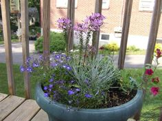 When planting a larger pot, like this 16-inch-wide one, it's easy to overplant. This pot features a four-cell pack of lobelia, Icicle licorice plant and a wine calibrachoa—in addition to Senorita Rosalita cleome. It would have been sufficiently full with the cleome only (see the next image).