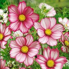 Pink and White Cosmos Seeds Candystripe, Cosmos bipinnatus, Cosmos