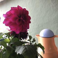 #yıldızçiçeği #bahçeçiçeği #flowersgarden #gardenflowers #kesikkavak #haymana #ankara