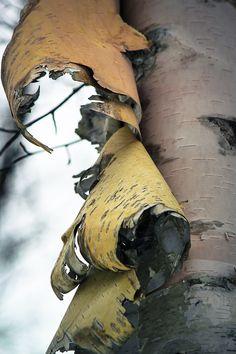 Bark peeling on Birch