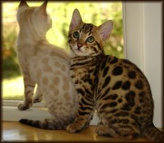 Cheetahsden Bengals California | Bengals Illustrated Directory