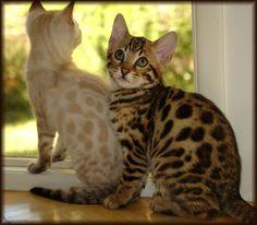 Cheetahsden Bengals California | Bengals Illustrated Directory