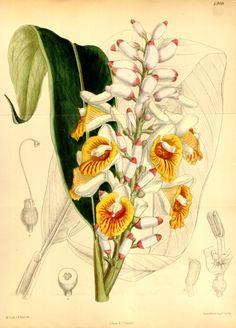 Orchid Ginger - Alpinia mutica -  circa 1886