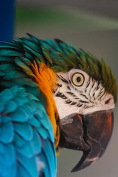 ✮ Blue and Gold Macow Parrot