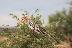 Comical Yellow-Billed Hornbill, Kruger