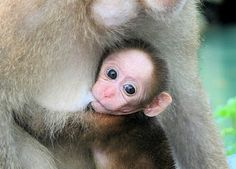 Monkey Breastfeeding  http://beautiful-breastfeeding.blogspot.co.nz/2011/11/animals-breastfeeding.html