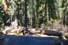 "Sequoia NP - L' ""arbre tunnel"" !"