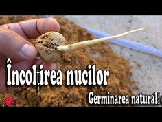 The best way to germinate walnuts - Natural Germination Fruit Plants, Permaculture, Make It Yourself, Gardens, News, Spring, Health, Youtube, Decor