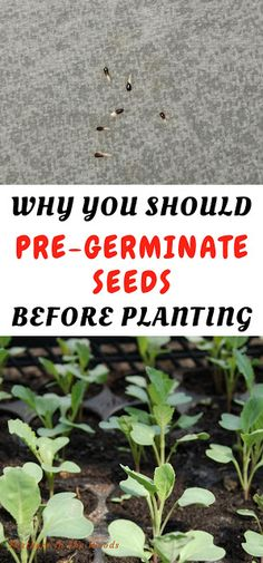 pre-germinate seeds How to pre germinate seeds to grow your own herbs and vegetables. By pre sprouting vegetable, flower and herbs seeds you can tell exactly how many will grow, instead of planting too many or not enough.How to pre germinate seeds to grow Indoor Vegetable Gardening, Home Vegetable Garden, Hydroponic Gardening, Container Gardening, Organic Gardening, Gardening Tips, Gardening Vegetables, Allotment Gardening, Texas Gardening